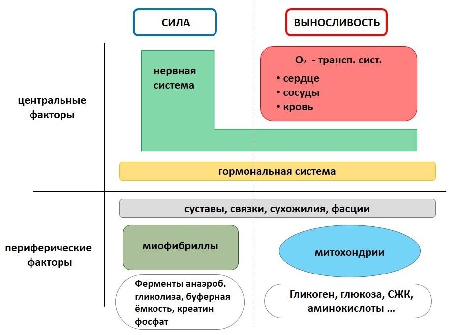 Рис. 4. Схема систем, элементов и энергетических субстратов, обеспечивающих физическую работу.